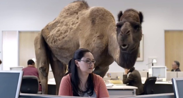 Geico Camel Hump Day Geico Camel Hump Day Images